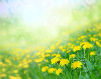 Field of dandelions. Stock Photos