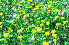 Field with dandelions Royalty Free Stock Image