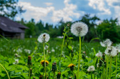 Field with dandelions. In summer day royalty free stock image