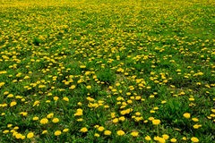 Field of Dandelions Stock Image
