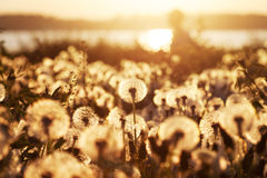 Field of dandelions at sunset with natural background Royalty Free Stock Images