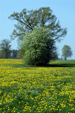 Field of dandelions and trees. A view of a clump of trees in Royalty Free Stock Photos