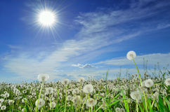 Field of dandelions. Under a bright sun Royalty Free Stock Image