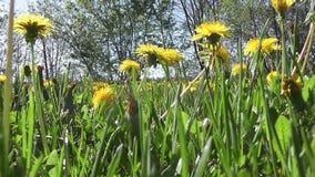 Field of dandelions-Stock Video footage. Field of dandelions a view from under stock video