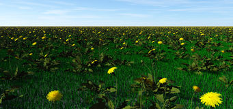 Field of dandelions. Weeds as far as the eye can see Stock Images