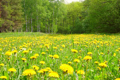 Field with dandelions in wood. Removed in the afternoon Royalty Free Stock Photo