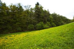Field of dandelions in the woods against the sky Stock Photography