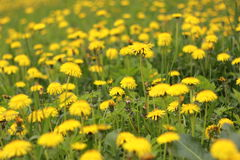 Field of dandelions. Yellow field with blooming dandelions Royalty Free Stock Photo