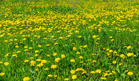 Field of dandelions Stock Photos