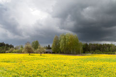 Field of dandelions. Royalty Free Stock Photography