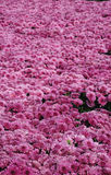 Field of Dark Pink Mums Stock Photos