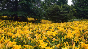 Field of Day Lilies Royalty Free Stock Images