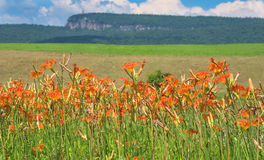 Field of Day Lilies Stock Photos