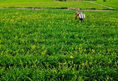 Field of Day Lillies, Yuli, Tainwan Stock Images
