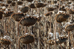 Dead Sunflowers Royalty Free Stock Photos