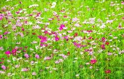 The Field del fiore di zinnia Fotografia Stock