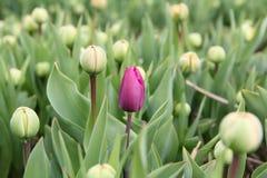 field den första purpura tulpan Royaltyfri Fotografi