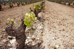 field den första vingården för radspain groddar Royaltyfri Fotografi