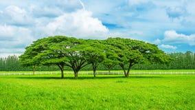 field den gröna treen mot bakgrund field blåa oklarheter för grön vitt wispy natursky för gräs Royaltyfri Bild