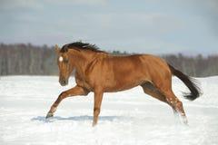 field den guld- hästvintern Arkivfoton