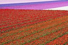 field den holland tulpan Royaltyfri Fotografi