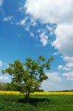 field den lone treen Arkivbild