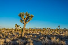 Field of Desert Joshua Trees. In the midst of the Mojave in arid California Stock Photography