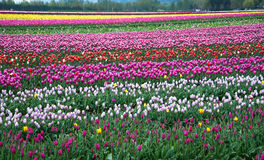 Field of different colored tulips Stock Photos