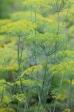 Field of dill Royalty Free Stock Photography