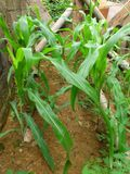 FIELD OF DOMESTIC MAIZE Stock Images