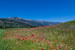 Field of dreams. Beautiful wild bouquet of flowers overlooking the Teton Range Royalty Free Stock Image