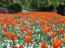 Field of Dreams. Spring tulip field in Boston Royalty Free Stock Photography
