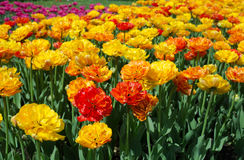 Field dressing-yellow-orange tulips. In the afternoon Royalty Free Stock Photos