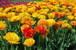 Field dressing-yellow-orange tulips Royalty Free Stock Photos