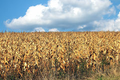 Field of dried corn Royalty Free Stock Photo