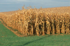 Field of dried corn stalks Royalty Free Stock Photo