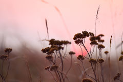 Field with dried flowers at sunset. Royalty Free Stock Photo