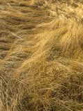 Field of dried golden grass laid down by the wind. stock image