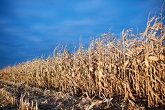 Field of dried maize plants awaiting harvesting. With stubble of cut corn in the foreground under a hazy blue sky with copy space Royalty Free Stock Photo