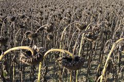 Field of dried sunflowers Royalty Free Stock Images