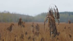 Field of dry grass and forest stock video footage