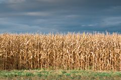 Field dry maize Royalty Free Stock Photo