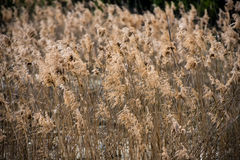 Field of dry rush. In natural light Royalty Free Stock Images