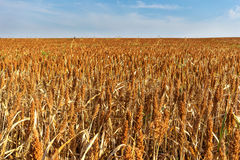 Field of dry sorghum plants ready for harvest collection.  Royalty Free Stock Image