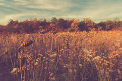 Field of dry sunflowers. Faded autumn background. Autumn field of sunflowers. Faded toned background Stock Photography