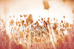 Field of dry thistle (burdock) Stock Images