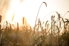 Field of dry wild spikes backlit with setting sun Royalty Free Stock Image