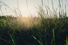 Field of dry wild weed backlit with warm setting Royalty Free Stock Photo
