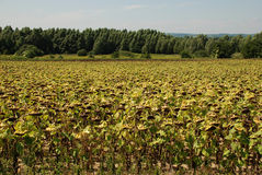 Field of Drying Sunflowers Stock Image