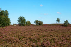 Field with Dutch heath and trees Royalty Free Stock Image